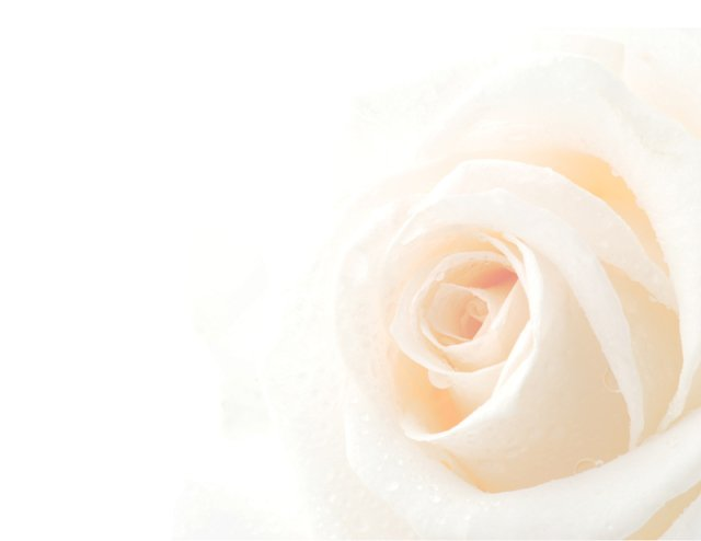 Beautiful light peach color rose on white background