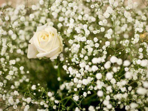 White rose with white flowers surrounding it